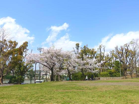 平塚市八幡山公園 ソメイヨシノ
