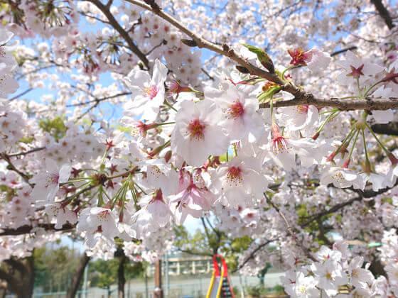 平塚市八幡山公園 桜 見頃