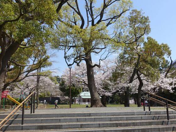 八幡山公園 平塚 桜