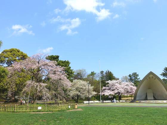 平塚市総合公園 しだれ桜