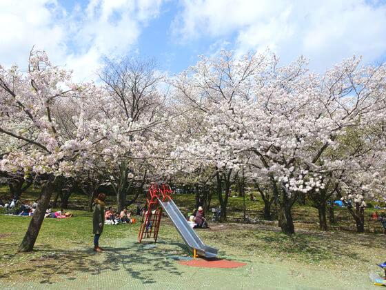 平塚市総合公園 桜