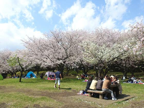 平塚市総合公園 桜 見頃