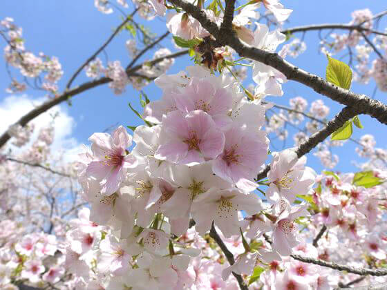平塚市総合公園 桜 開花状況