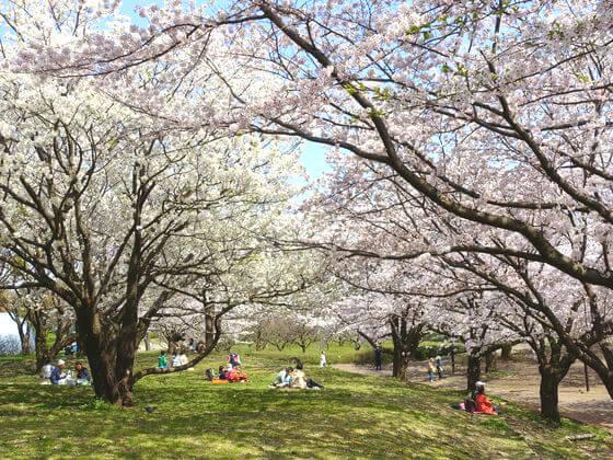 平塚市 お花見