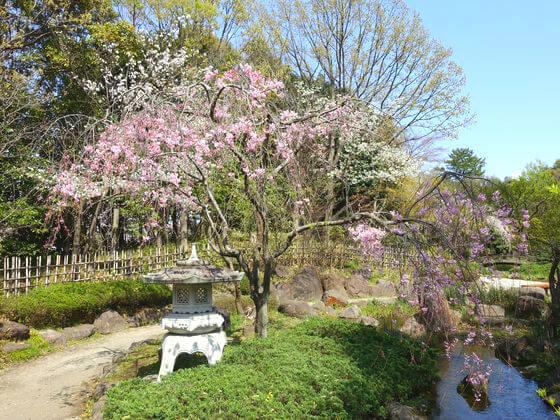 平塚市総合公園 枝垂れ桜