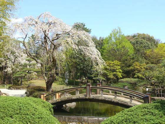 平塚市総合公園 日本庭園 しだれ桜
