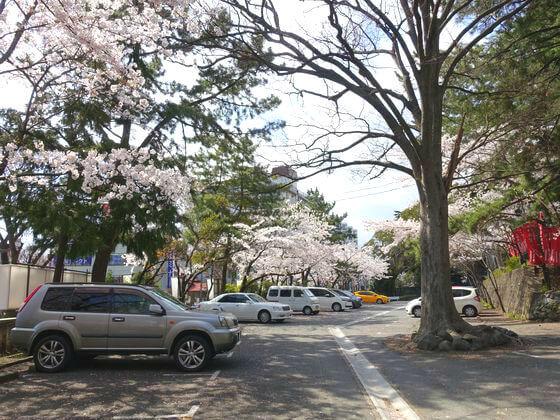 平塚八幡宮 ソメイヨシノ