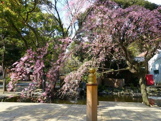 枝垂れ桜 平塚八幡宮