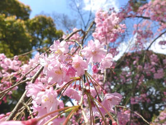 平塚八幡宮 桜 見頃