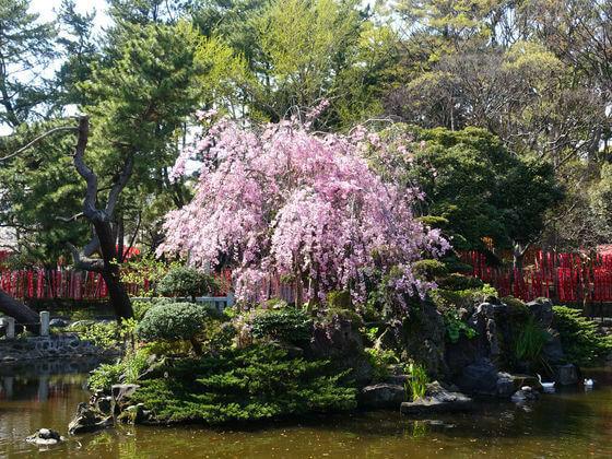 平塚八幡宮 しだれ桜