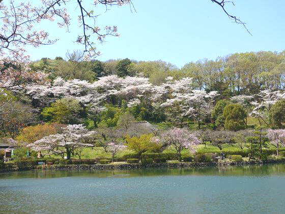 町田 薬師池公園 お花見