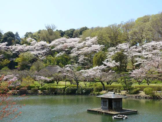 薬師池公園 桜