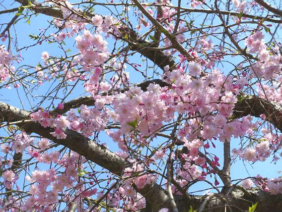薬師池公園 町田 桜