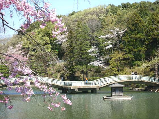 薬師池公園 桜 見頃