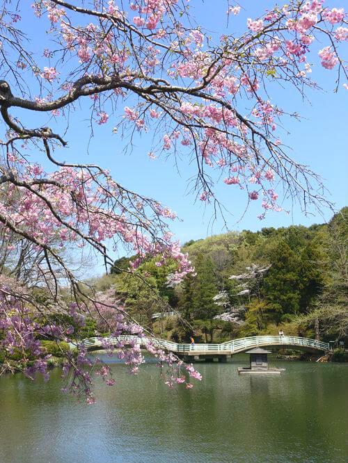 薬師池公園 しだれ桜