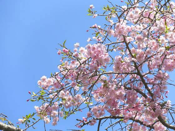 薬師池公園 桜 開花状況