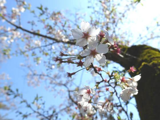町田市 お花見