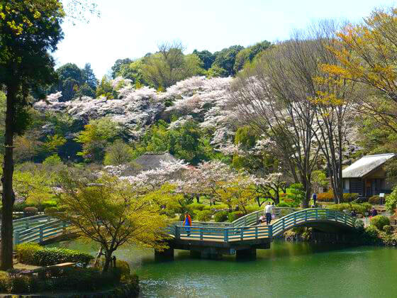 町田 薬師池公園 桜