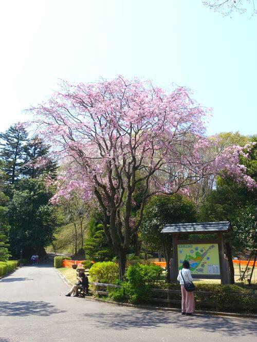 薬師池公園 お花見