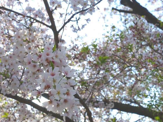 等々力不動尊 桜 開花状況