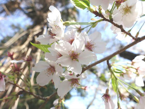桜 等々力不動尊