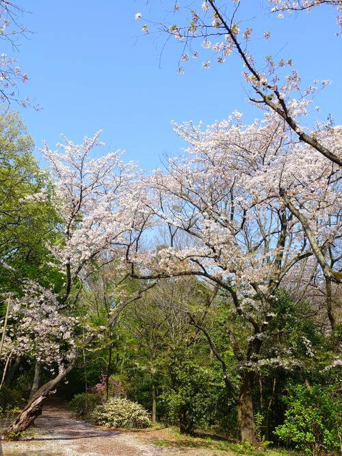 等々力渓谷 桜
