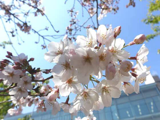 千鳥ヶ淵 桜 開花状況