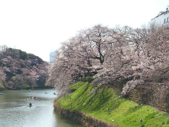 千鳥ヶ淵緑道 桜