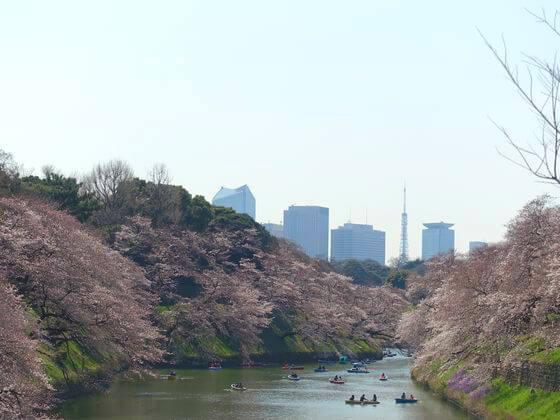 千鳥ヶ淵 桜 見頃