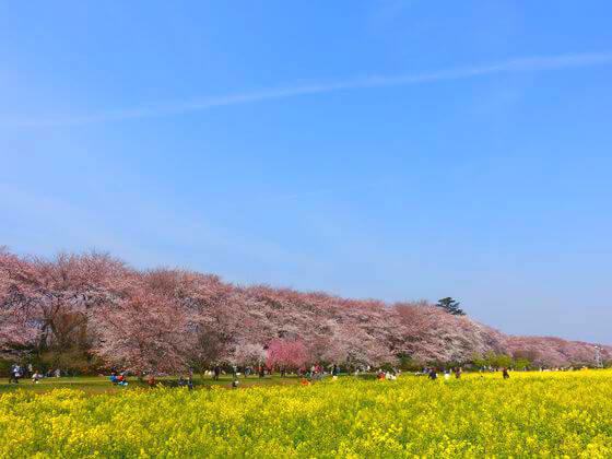 権現堂 桜