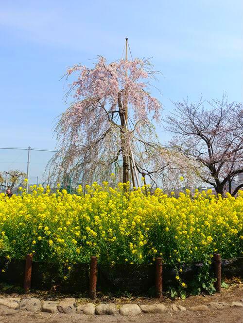 隅田公園千年桜プロジェクト