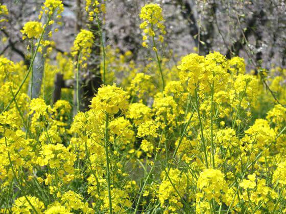 隅田公園 菜の花