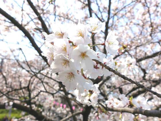 隅田川 桜 開花状況