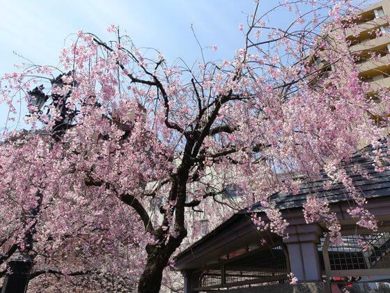 隅田川公園 枝垂桜