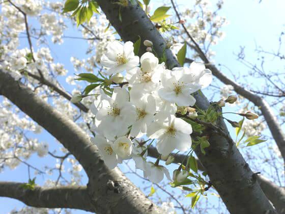 葛西臨海公園 大島桜