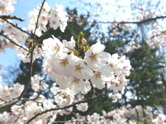 葛西臨海公園 桜 開花状況