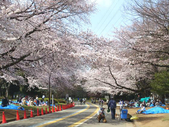 駒沢公園 桜
