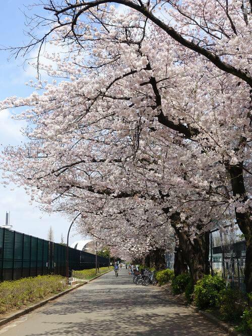 駒沢オリンピック公園 桜