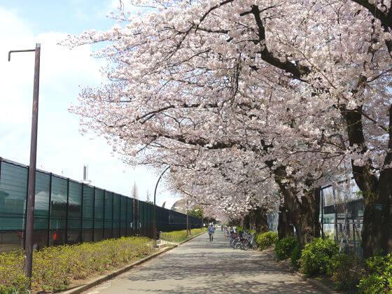 駒沢公園 桜 見頃