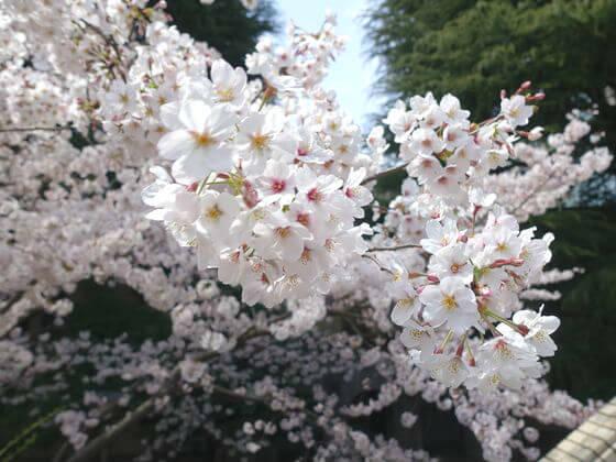 東工大 桜 開花状況