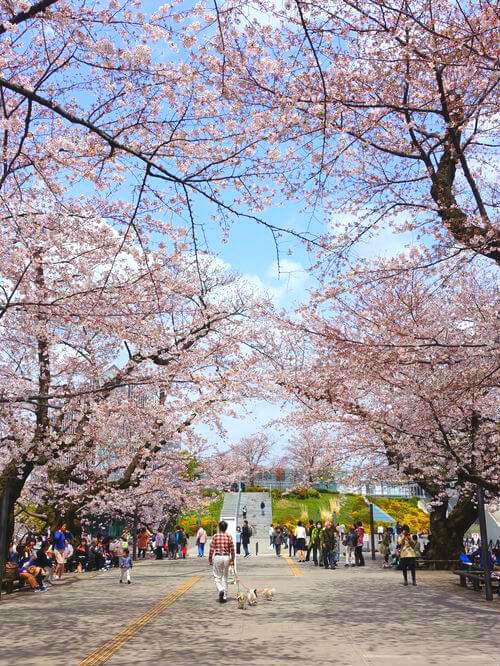 大岡山 桜