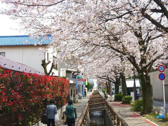 洗足流れ 桜