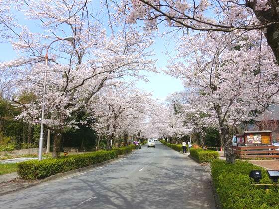 北桜通り 桜のトンネル