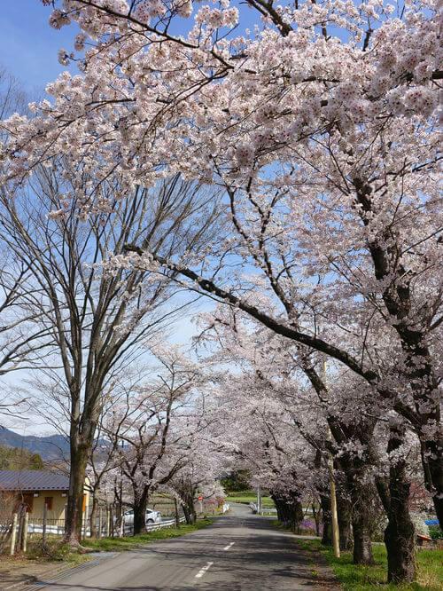 井戸の桜並木 長瀞