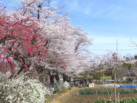 井戸の桜並木 見頃