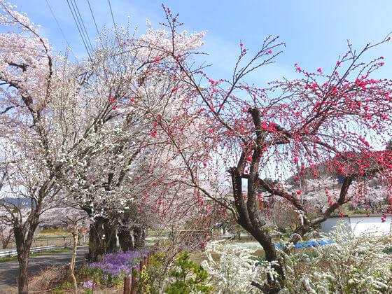 井戸の桜並木 花桃