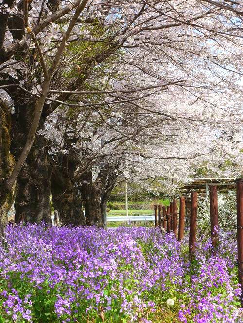 秩父 井戸の桜並木