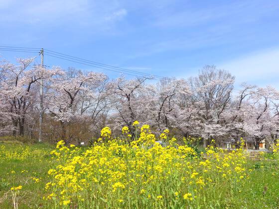 井戸の桜並木 開花状況