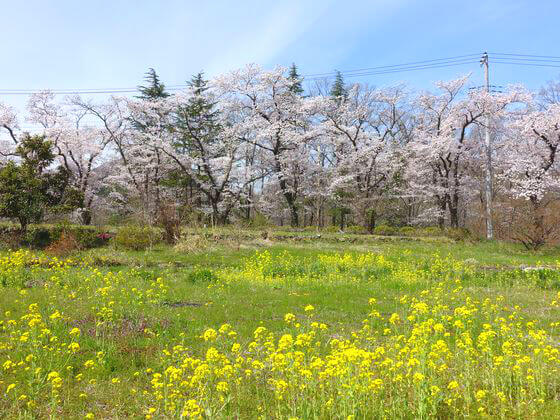 井戸の桜並木 菜の花