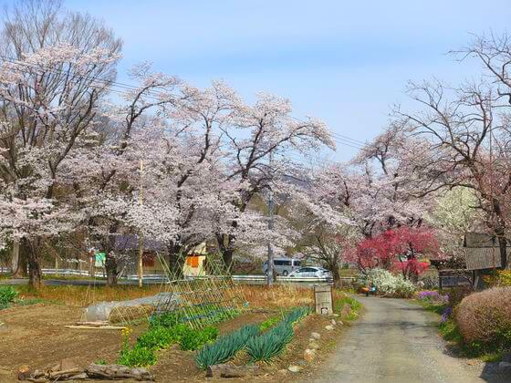 井戸の桜並木 秩父